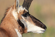 Pronghorn (antelope) in autumn habitat