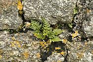 Black Spleenwort - Asplenium adiantum-nigrum