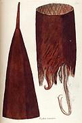 Hand painted botanical study of plant anatomy from Fragmenta Botanica by Nikolaus Joseph Freiherr von Jacquin or Baron Nikolaus von Jacquin (printed in Vienna in 1809)