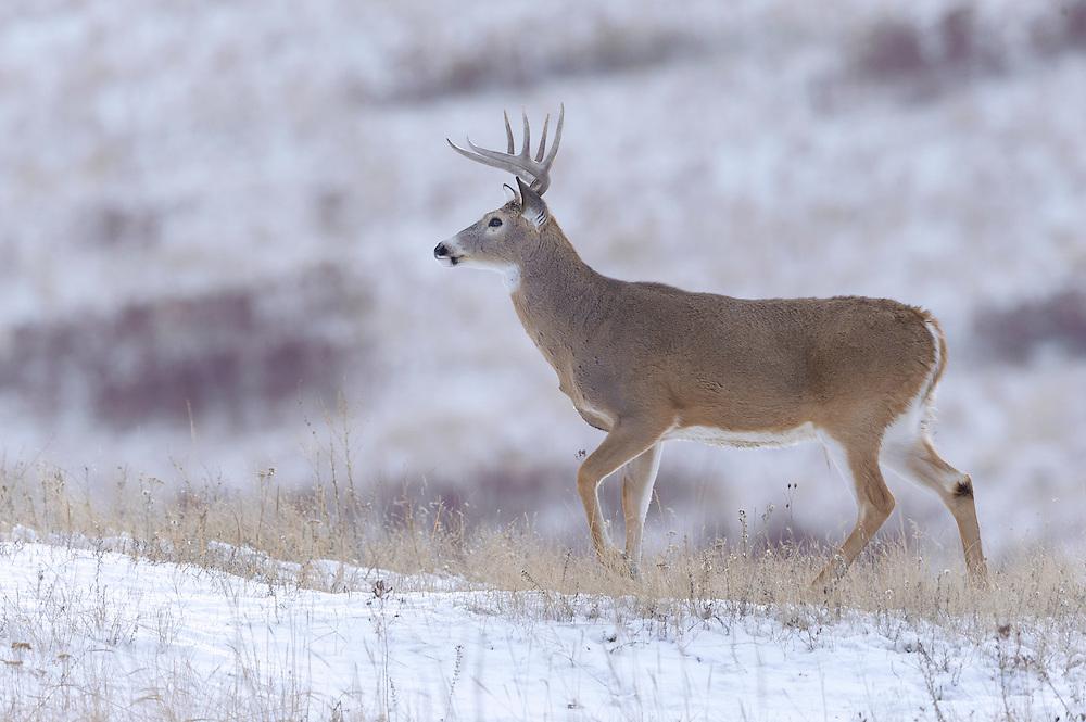 A white-tailed buck walks through snow, Western Montana