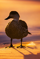 Crested Duck (Lophonetta specularioides) at sunrise in the Falkland Islands