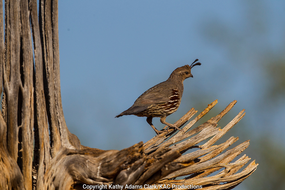 Gambel's quail; Callipepla gambelii; male, Arizona; Sonoran Desert;  Summer