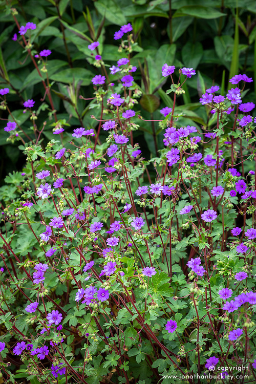 Geranium pyrenaicum 'Bill Wallis' (Mountain cranesbill)