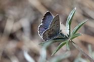 Glaucopsyche piasus gabrielina - Arrowhead Blue