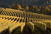 Bella Vida Vineyard, Dundee Hills, Willamette Valley, Oregon