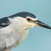 The black-crowned night heron (Nycticorax nycticorax), commonly abbreviated to just night heron in Eurasia, is a medium-sized he