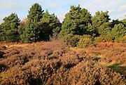 Coniferous trees and heather plants Sandlings heathland, Sutton Heath Suffolk, England, UK
