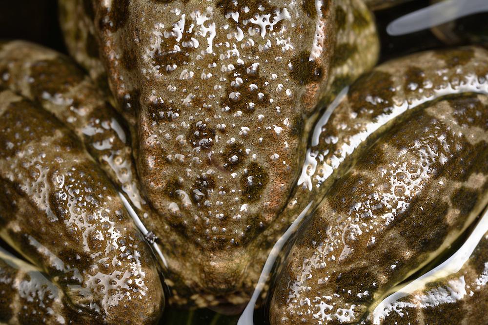 Marsh Frog, Pelophylax ridibundus (formely Rana ridibunda). Close-up of hind leg skin pattern. Stenje region, Lake Macro Prespa (850m) <br /> Galicica National Park, Macedonia, June 2009<br /> Mission: Macedonia, Lake Macro Prespa /  Lake Ohrid, Transnational Park<br /> David Maitland / Wild Wonders of Europe