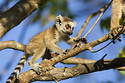 Ring-tailed Lemur<br /> Lemur catta<br /> Two-week-old baby climbing<br /> Berenty Private Reserve, Madagascar