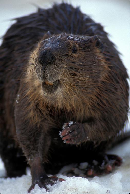 USA, Alaska, Denali National Park, Beaver (Castor canadensis) stands in late spring snow near banks of Teklanika River