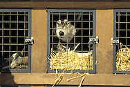 DEU, Germany,  dog sled race in Winterberg, Sauerland, Siberian Husky in a special trailer.....DEU, Deutschland, Schlittenhunderennen in Winterberg, Sauerland, Sibirischer Husky in einem Transport Anhaenger.........