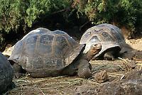 "July 1995, Galapagos Islands, Ecuador --- Group of giant ""Galapagos Tortoises"" --- photo Owen Franken"