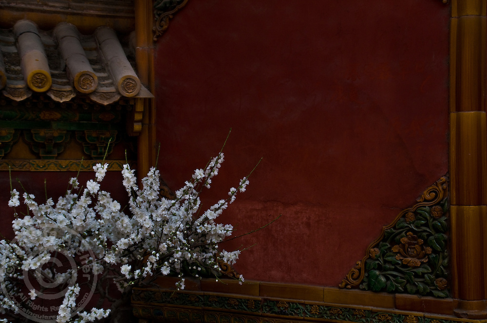 A plum tree blossoms in the Forbidden City.