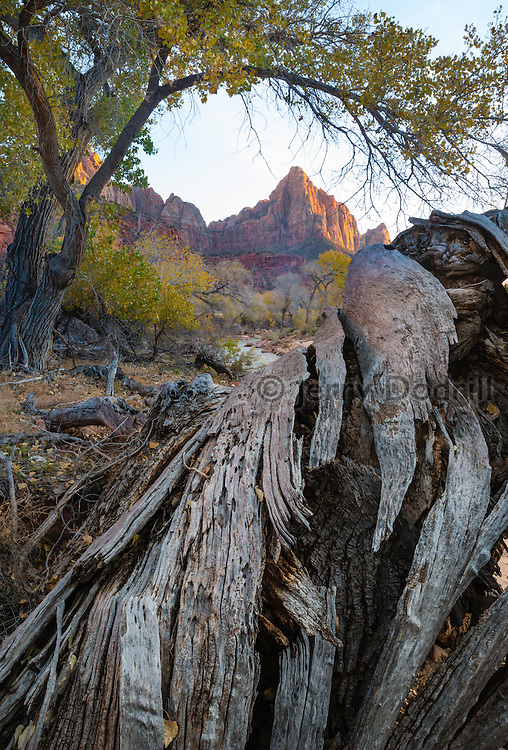 Cottonwood trees along the Virgin River, below The Watchman in Zion National Park, Utah