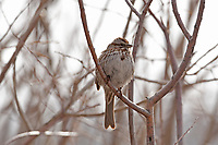 A male Song Sparrow perched on a branch on a foggy morning in northern Utah.