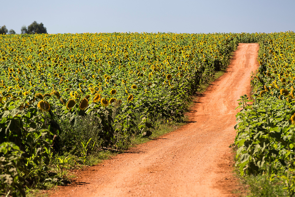 Delfinopolis_MG, Brasil.<br /> <br /> Producao de Girassol na agricultura familiar. Na foto, plantacao de girassol na fazenda Sao Francisco em Delfinopolis, Minas Gerais.<br /> <br /> Sunflower production on family farms. In the photo, sunflower plantation in Sao Francisco Passos farm in Delfinopolis, Minas Gerais.<br /> <br /> Foto: LEO DRUMOND / NITRO