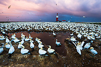 Cape Gannet breeding colony at dawn, Bird Island, Algoa Bay, Eastern Cape, South Africa