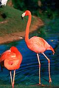 Flamingos<br />
