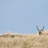 trophy mule deer buck open country on grassy ridge