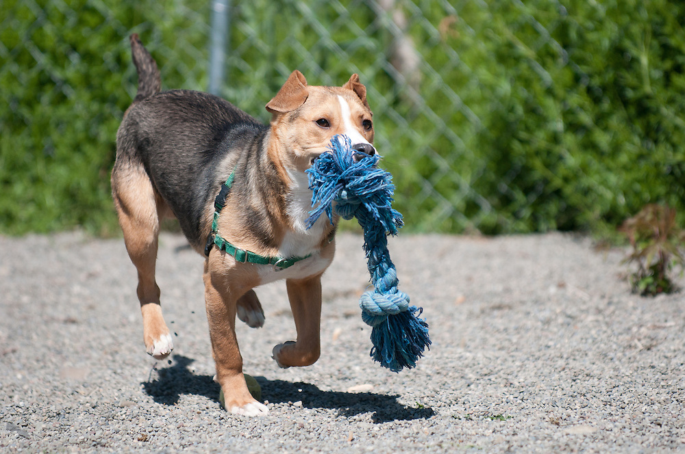 Tyler, a dog up for adoption at the SPCA, is out in the exercise area playing with toys.