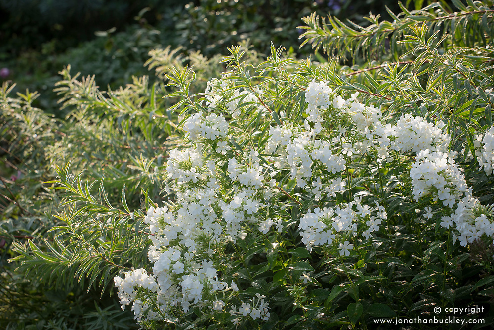 Phlox paniculata 'David' with Euphorbia palustris
