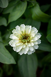Zinnia Zahara 'Double White'