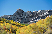 SHOT 10/2/14 9:34:28 AM - Aspen leaves changing colors along Last Dollar Road and the Dallas Divide near Ridgway, Co. Last Dollar Road ascends from Telluride to Ridgway, Co. Aspens are trees of the willow family and comprise a section of the poplar genus, Populus sect. Populus. The Quaking Aspen of North America is known for its leaves turning spectacular tints of red and yellow in the autumn of the year (and usually in the early autumn at the altitudes where it lives). This causes forests of aspen trees to be noted tourist attractions for viewing them in the fall. These aspens are found as far south as the San Bernardino Mountains of Southern California, though they are most famous for growing in Colorado. Autumn leaf color is a phenomenon that affects the normally green leaves of many deciduous trees and shrubs by which they take on, during a few weeks in the autumn months, one or many colors that range from red to yellow. The phenomenon is commonly called fall colors and autumn colors, while the expression fall foliage usually connotes the viewing of a tree or forest whose leaves have undergone the change. In some areas in the United States &quot;leaf peeping&quot; tourism between the beginning of color changes and the onset of leaf fall, or scheduled in hope of coinciding with that period, is a major contribution to economic activity.<br /> (Photo by Marc Piscotty / &copy; 2014)