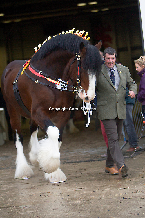 Mr L E Harrison's Bay Stallion  Cumeragh House Desperate Dan  f 2008<br />