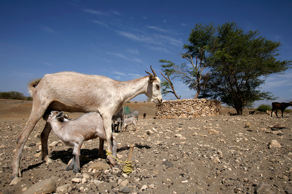 Goats are the animals who most easily adapt to the rocky and dry Maio island and can be seen throughout the island.