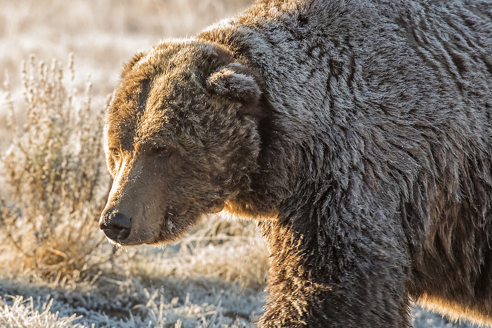 Adult male grizzlies can have territories of up to 1500 square miles, and Scarface is no exception. This penchant for traveling explains why this old warrior has been spotted in so many different areas of Yellowstone National Park.