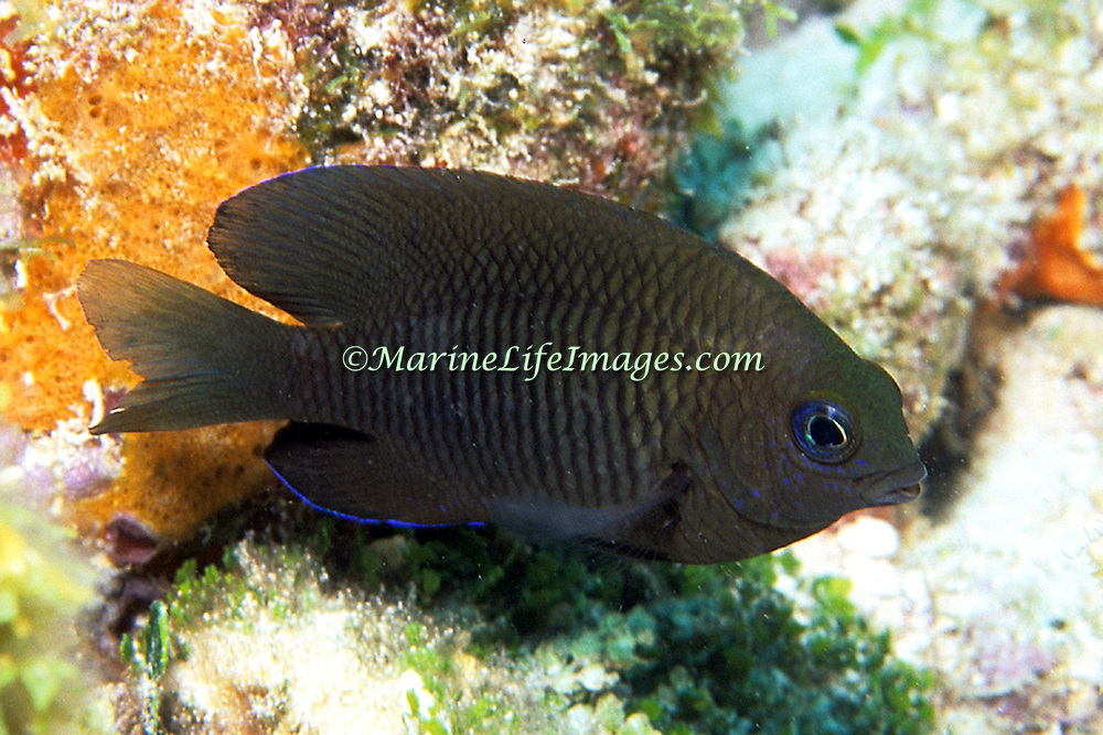 Longfin Damselfish generally inhabit reefs between 15-80 feet in Tropical West Atlantic; picture taken Key Largo, FL.