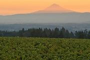 2016 harvest at Domain Drouhin's Roserock vineyard, Eola-Amit Hils AVA, Willamette Valley, Oregon