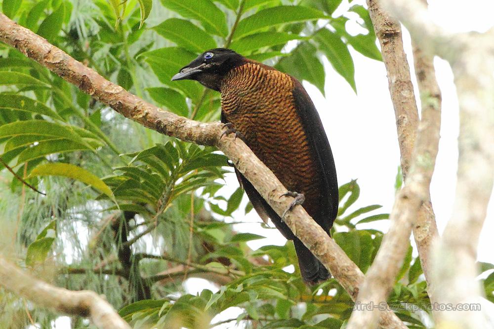 Lawes's Parotia, Parotia lawesii, in tree, Papua New Guinea, by Markus Lilje