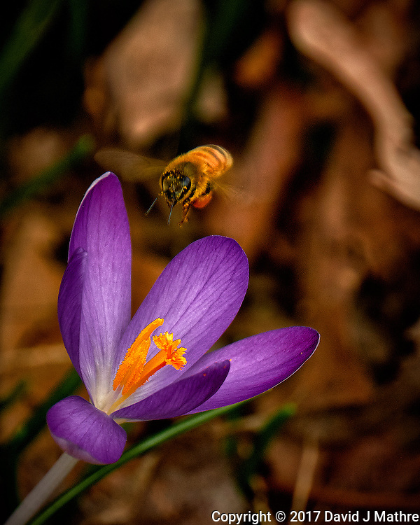 First Hint of Spring -- Early crocus flower with a honey bee across the street. Winter nature in New Jersey. Image taken with a Fuji X-T2 camera and 100-400 mm OIS lens (ISO 200, 400 mm, f/5.6, 1/500 sec)