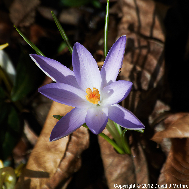 Early Purple Crocus -- Spring is Coming. Image taken with a Nikon 1 V1 and 10-100 mm lens (ISO 100, 100 mm, f/5.6, 1/320 sec).