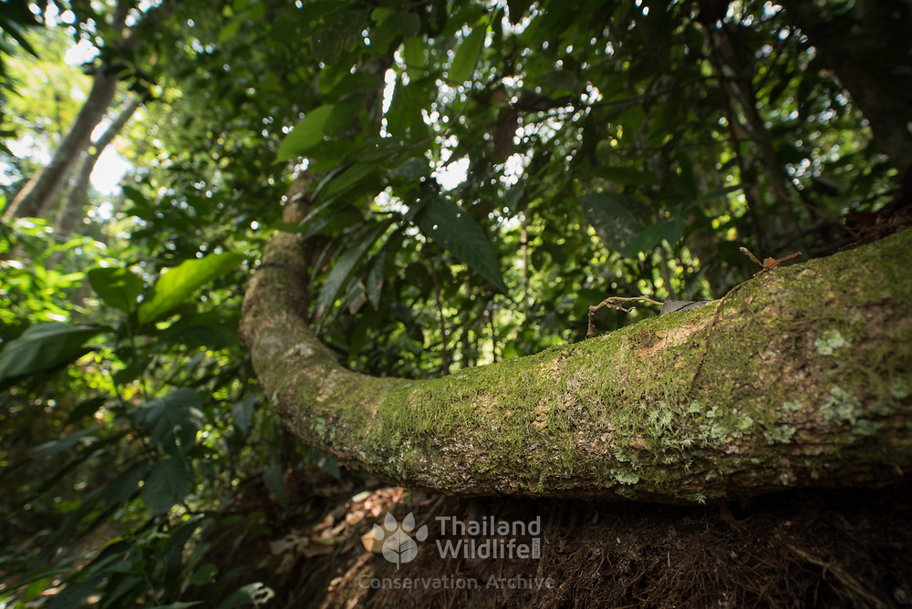 Vine in Evergreen forest in Kaeng Krachan national park, Thailand