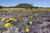 Desert Marigolds (Baileya multiradiata) at Big Bend Ranch State Park,, Texas