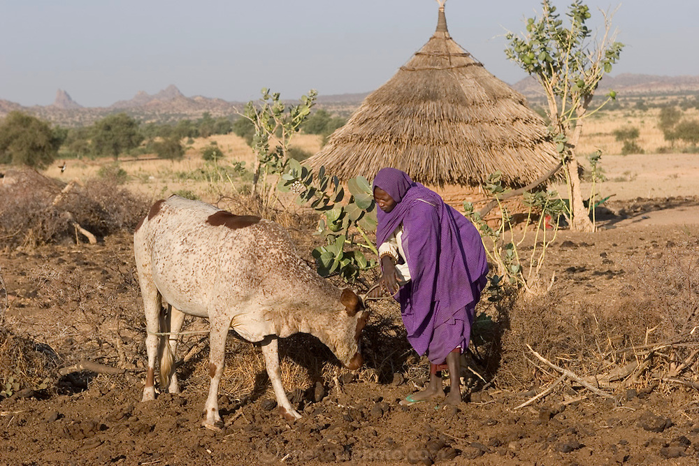In Dar es Salaam village, eastern Chad, the Mustapha family tends to their cattle. (Supporting image from the project Hungry Planet: What the World Eats.)