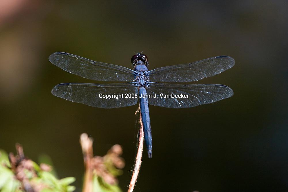 Slaty Skimmer Dragonfly perched on twig