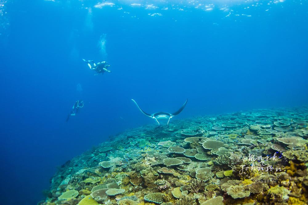 Manta Ray (Manta birostris), Lady Elliot Island, Great Barrier Reef, Queensland, Australia