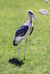 14 May 2013:  Marabou Stork. This animal is a captive animal and well cared for by a zoo.