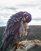 Peregrine falcon preening her body feathers, eyelid closed. © 2015 David A. Ponton [Photo by motion-activated camera mounted on the dead tree that is a favorite perch on the canyon rim. The low-resolution camera limits repro. size, prints to 8x10, 16x20 in. with no cropping.]