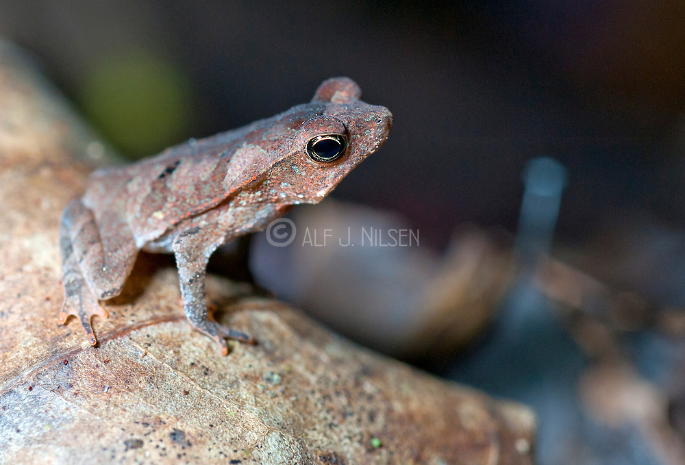 Toad from the rainforest of La Selva, Ecuador. Possible Rhinella sp.
