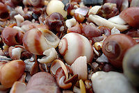 Strandsnegler (Littorina) er en slekt med små marine snegler. Det norske navnet strandsnegler brukes også om hele familiegruppen strandsnegler.....Disse små sneglene lever i og like under tidevannssonen på berg og klipper.....I Europa er det ni arter, hvorav fem er representert ved norskekysten.....Littorina is a genus of small sea snails, marine gastropod molluscs in the family Littorinidae, the winkles or periwinkles. ....These small snails live in the tidal zone of rocky shores.....