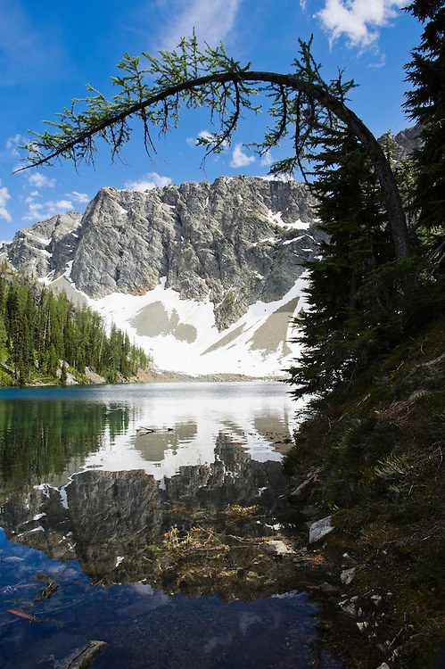 A Larch tree bent over above Blue Lake in the North Cascades near Washington Pass in Washington, USA.