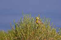 "Western Meadowlark (Sturnella neglecta)  A 9"" bird.  Brownish above and yellow below with a black V on the breast.  Prefers meadows and grasslands.  Colorado, USA."