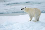 Polar bear on ice floe in Svalbard off the island of Edgeóya.
