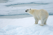 Polar bear on ice floe in Svalbard off the island of Edgeóya.