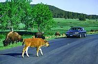 Bison Calf crossing the Wildlife Loop Road at Custer State Park, South Dakota.