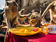 30 NOVEMBER 2014 - LOPBURI, LOPBURI, THAILAND: Long tailed macaque monkeys eat the fruit and vegetable buffet at the annual monkey buffet party in Lopburi, Thailand. Lopburi is the capital of Lopburi province and is about 180 kilometers from Bangkok. Lopburi is home to thousands of Long Tailed Macaque monkeys. A regular sized adult is 38 to 55cm long and its tail is typically 40 to 65cm. Male macaques weigh around 5 to 9 kilos, females weigh approximately 3 to 6 kg. The Monkey Buffet was started in the 1980s by a local business man who owned a hotel and wanted to attract visitors to the provincial town. The annual event draws thousands of tourists to the town.    PHOTO BY JACK KURTZ